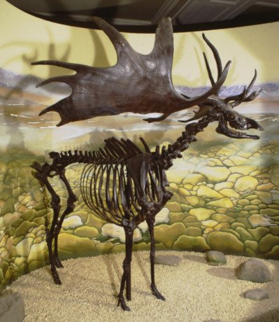 Elk skeleton at Bristol Museum
